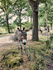 Ezels in het bos (Jan 1147) Tags: ezels bos donkeys forest wood photoshop belgium depinte natuur nature dieren animals