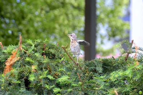 Fieldfare chick tries to fly