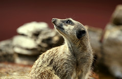 Where? (SteveJM2009) Tags: meerkat pose face head eyes coat nose hairy hairs texture markings detail dof bokeh focus nostril marwell wildlife hants hampshire uk august 2018 stevemaskell