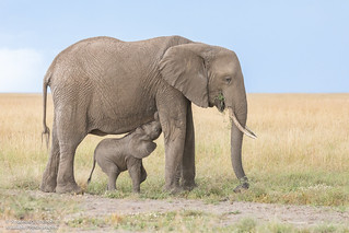 Elephant Mum and calf - Loxodonta africana
