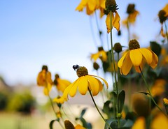 Floral summer impressions (Beltoiner) Tags: 35mm sonne sun bokeh nature floral sommer summer spring gelb blume hummel yellow bumblebee
