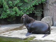 Moscow zoo (janepesle) Tags: zoo animals nature moscow москва зоопарк животные animal walrus морж