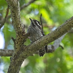 Sunda Pygmy Woodpecker (christopheradler) Tags: malaysia borneo sunda pygmy woodpecker picoides moluccensis