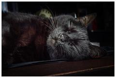 Hard day at work 😸 (Pepenera) Tags: cat cats gatto gato gatti black b