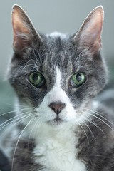 Sammy (Rick Heffren) Tags: greeneyes portrait grey cat canon t5i ef50mmf18ii