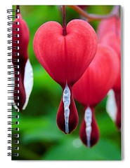 bleeding-heart-carlene-smith (1) (Fine Arts Designer) Tags: notebook notebooks writing write stationaery paper spiral