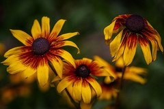 triangle - Dreigestirn (ralfkai41) Tags: garden coneflower pfanze rudbeckia flower blossom blüte garten blume natute outdoor sonnenhut natur plant