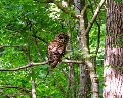Barred Owl (mikerhicks) Tags: barredowl highlandsofharpethtrace hiking meetup nashville nature sonya6500 sonyimages tennessee unitedstates wildlife outdoors exif:focallength=105mm camera:make=sony exif:lens=epz18105mmf4goss exif:make=sony geo:lat=3607465 geo:city=nashville geo:country=unitedstates exif:aperture=ƒ56 geo:lon=86877995 geo:state=tennessee geo:location=highlandsofharpethtrace exif:isospeed=400 camera:model=ilce6500 exif:model=ilce6500