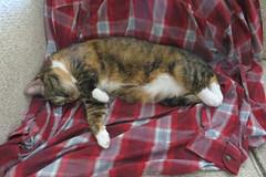 Gracie 6 July 2018 0067 (edgarandron - Busy!) Tags: gracie patchedtabby cat cats kitty kitties tabby tabbies cute feline