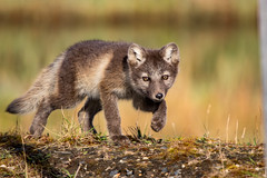 The Hunter (Dan King Alaskan Photography) Tags: arcticfox fox vulpeslagopus kit hunt hunter stalking sneaking northslope alaska canon80d sigma150600mm