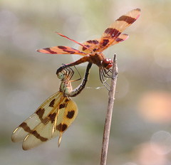 Halloween Pennants at Capik Preserve (Tombo Pixels) Tags: capikpreserve dragonfly ode odonata odonate capik181337 halloween pennant dragonflies mating halloweenpennant matingcircle clasped middlesexcounty pinebarrens pinelands nj newjersey twb1