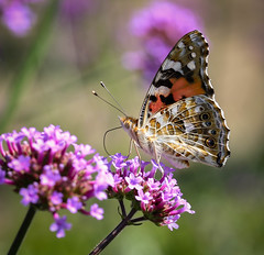 Butterfly (LuckyMeyer) Tags: flower fleur insect butterfly schmetterling summer garden makro green