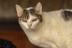 Meow (Aldimar Batso) Tags: animal gatinho viagem natureza olhoslindos close canon100mmmacro macro canon6dmkii