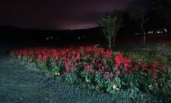 Dark Red Flower at Night (sjrankin) Tags: 4august2018 edited hokkaido japan yuni yunigarden night flowers light