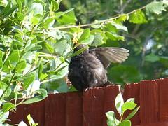 blackbird sunbathing (river crane sanctuary) Tags: blackbird male rivercranesanctuary
