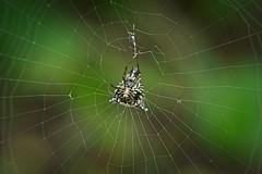Micrathena gracilis (jswigal) Tags: spider orb weaver web nature animal arthropod arachnid micrathena gracilis spines armour woods green macro wild wildlife minolta sony rokkor a7 a7r alpha white yellow