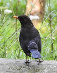 Blackbird at Thornley Woods (Gilli8888) Tags: birds thornleywood thornleyhide thornley gateshead tyneandwear countryside nikon p900 coolpix wood blackbird
