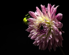 Pink Dahlai with Bud 0810 (Tjerger) Tags: nature flower bloom blooming plant natural flora floral blackbackground portrait beautiful beauty black green wisconsin macro closeup white yellow single pink dahlia summer bud