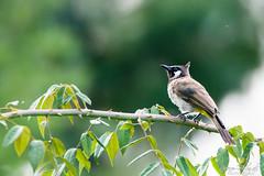 Himalayan Bulbul (PB2_2967) (Param-Roving-Photog) Tags: himalayan bulbul bird wildlife woods bushes narkanda himachal himalayas india birdphotography wildlifephotographer birdsofindia nature birdphotos
