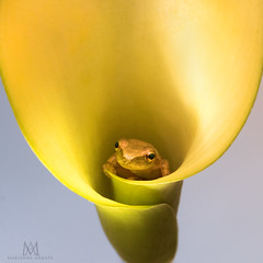 look inside! (marianna_armata) Tags: grey tree frog amphibian cute tiny macro calalily lily yellow brown centered mariannaarmata animal