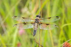 Four Spotted Chaser with wing damage 501_3069.jpg (Mobile Lynn) Tags: fourspottedchaser nature dragonfly insects fauna insect wildlife elstead england unitedkingdom gb