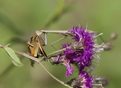 Mantis eating butterfly 3 (brian.magnier) Tags: new jersey nature wildlife animals outdoors