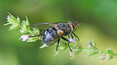 Tachinid Fly. Hopefully someone can id this for me. Pelatachina or Macquartia ? See previous image also. (jaytee27) Tags: ourgardenkent tachinidfly macromarvels
