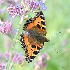Butterfly Dreams (Eleanor (No multiple invites please)) Tags: butterfly smalltortoiseshellbutterfly flowers littlecotehouse hungerford berkshire uk nikond7200 july 2018 ngc coth5