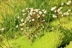 Snæsteinbrjótur (hó) Tags: snæsteinbrjótur saxifraganivalis steinbrjótur saxifraga white flowers moss green selárdalur iceland flora july 2018 westfjords arnarfjörður vestfirðir