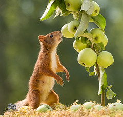 red squirrel smelling apple branches (Geert Weggen) Tags: animal applefruit autumn branchplantpart bright brightlylit cheerful closeup cute food fruit fun happiness harvesting horizontal humor lightnaturalphenomenon mammal moss nature photography red rodent squirrel summer sweden tree vibrantcolor younganimal sweet bispgården jämtland geert geertweggen ragunda