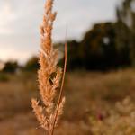 Sweet grass thumbnail