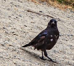 You talking to me? (Barb Henry) Tags: crow bird blackbird arrogant feathers ornery payingattention walking beak lookingatme