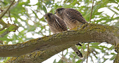 Kestrels (KHR Images) Tags: kestrel windhover juvenile falcotinnunculus wild bird birdofprey falcon hawk fendraytonlakes cambridgeshire eastanglia wildlife nature nikon d500 kevinrobson khrimages