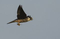 Hobby - I defintely qualify as a bird of prey! (Ann and Chris) Tags: hobby raptor dragonfly hunting suffolk bird nature animal wildlife avian canon7dmarkii sky