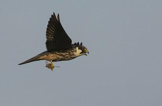 Hobby - I defintely qualify as a bird of prey!