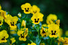 Yellow and More Yellow! (BGDL) Tags: lightroomcc nikond7000 nikkor50mm118g bgdl niftyfifty pansies garden 7dos