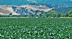 June21Image2525 (Michael T. Morales) Tags: agriculture farm cultivation rows furrows soil harvest salinasvalley ag