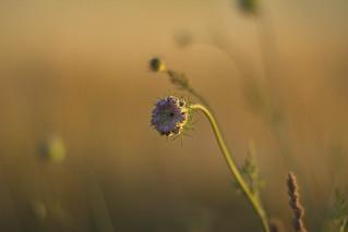 Flower in the evening light