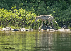 5404 (Les Piccolo) Tags: grray wolf lake superior provincial park nikon d500