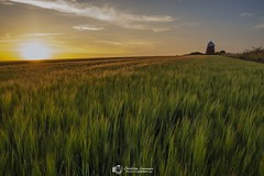 Halnaker sunset corn (Christian Lawrence Photography) Tags: halnaker west sussex sunset windmill xt2 landscape field clouds contrail