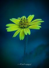 Gerbera Flower (Anup Devaraj Clicks) Tags: gerberaflower flowerphotography yellowflower naturephotography nikond3200 nikkor55300