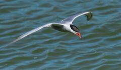 Tern Preston Docks F00308 D210bob DSC_3623 (D210bob) Tags: tern prestondocks f00308 d210bob dsc3623 nikond7200 birdphotography birdphotos leightonmoss naturephotography naturephotos nikon nikon200500f56 wildlifephotography lancashire