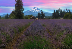 Lavender Field in Hood River Oregon After Sunset (David Gn Photography) Tags: hood river mount lavender field flowers fragrant full bloom summer season sunset dusk evening pink day outdoor garden parks farm barn nature botanical agriculture purple mountain scenic valley view trees landscape oregon pacific northwest usa north america west coast united states