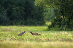 Confrontation (adambotond) Tags: adambotond redfox vulpesvulpes animal carnivore carnivora fox wildlife wildlifephotography wilderness wildanimal nature naturephotography börzsöny hungary europe canoneos1dx canonef400f4doisiiusm canonextenderef2xiii field forest wild confrontation