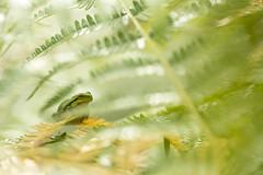 the bokeh-lover (look to see) Tags: boomkikker treefrog hylaarboreum sintmaartensheide beek bree belgium kikker frog bokeh 2018