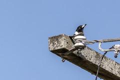 Pied Butcherbird (Arcus Cloud) Tags: bird birds birding birdphotography birdspotting birdwatching australia australianwildlife australianbirds australian wildlife wildlifephotography wildlifeandnature wildlifephoto wild nsw nature naturalworld naturewatcher natural