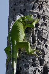 Key West welcome (ucumari photography) Tags: ucumariphotography greeniguana iguanaiguana lizard animal palm tree green blue climb keywest florida fl july 2018 dsc3079
