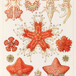 Asteridea illlustration, lithograph by Adolf Glitsch after sketched by Ernst Haeckel, shows starfishes in the phylum Echinodermata. Original from Library of Congress. Digitally enhanced by rawpixel. thumbnail