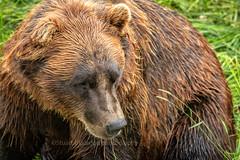 Alaskan Brown Bear (chasingthelight10) Tags: events photography travel landscapes places alaska otherkeywords brownbear