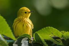 One little pile of cuteness (Kevin Fox D500) Tags: yellow yellowwarbler bird birding birdwatching birds tree trees nature nikond500 nikon sigma150600sport sigma pennsylvania peacevalley warbler